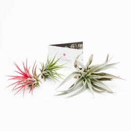 air-plant-collection-three.jpg