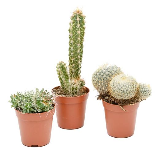 Mini Cacti Collection - 3 Plants