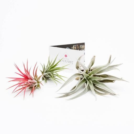 Air Plant Trio Collection