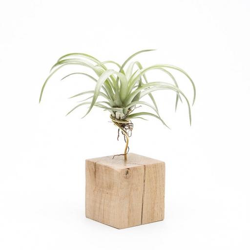 Air Plant Petite Oak Planter
