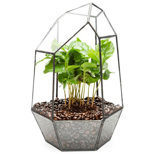 Aztec Coffee Gem Terrarium