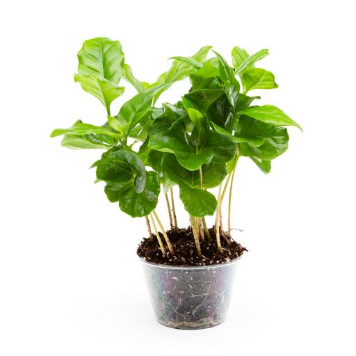 Potted Arabica (Coffee) Plant