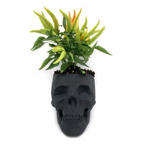 Skull Planter with Chilli Plant
