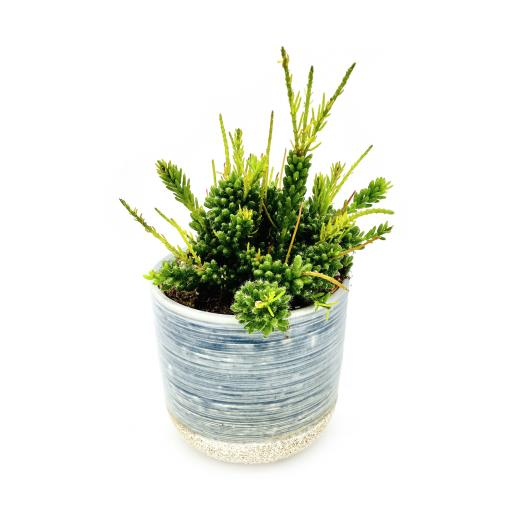 Mistletoe Cactus Blue Stone Planter