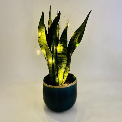 Snakeplantlights.jpg