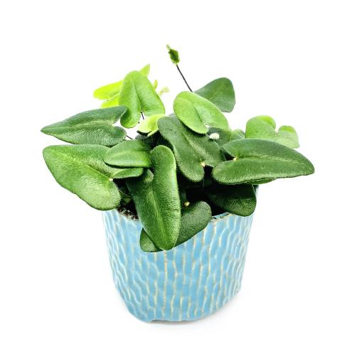Heart Leaf Fern Carise Blue Planter