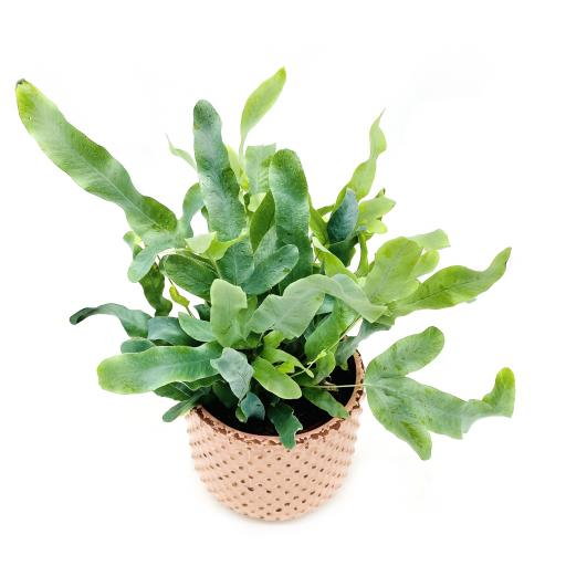 Blue Star Fern Bolino Pink Planter