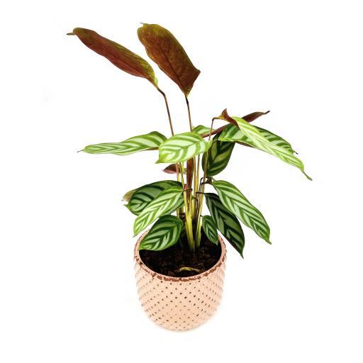 Calathea Freddie Bolino Pink Planter